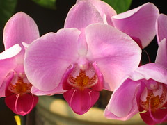 cattleya labiata(0.0), plant(0.0), cattleya trianae(0.0), flower(1.0), macro photography(1.0), phalaenopsis equestris(1.0), flora(1.0), moth orchid(1.0), pink(1.0), petal(1.0),
