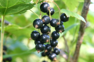 How to Grow Blackcurrants With Blackcurrant Growing Tips