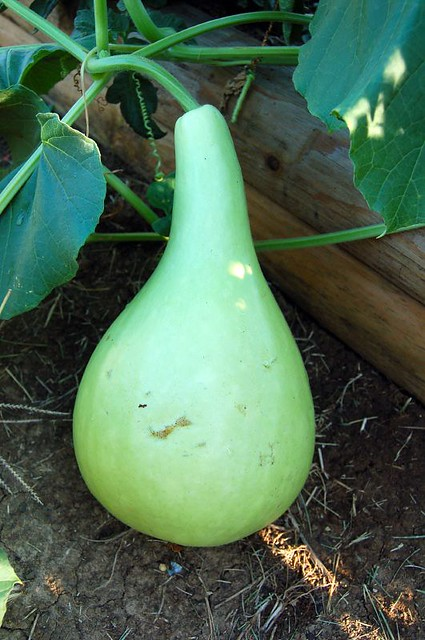 New To You >> Mystery Chinese Squash Gourd   Can you help me identify ...