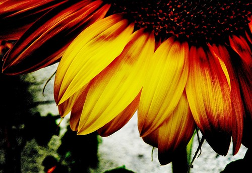 Sunflower again...