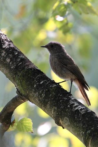 park nature beauty birds iso800 hungary phoenicurusochruros blackredstart featheryfriday kezsthely zwarteroodstaart