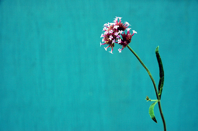 flower against turquoise background