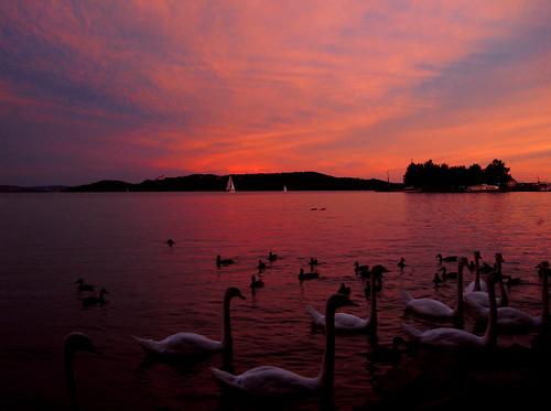 sunset red lake water port lago swan aqua tramonto swans porto acqua rosso balaton cigni tihany plattensee cigno balatonfüred interestingness63 i500 abigfave kikötô hattyu