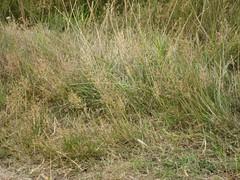 grass, plant, chrysopogon zizanioides, flora, natural environment, meadow, grassland, wildlife,