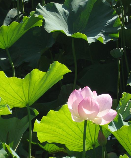 lotus jardin chinois au jardin botanique de montr al