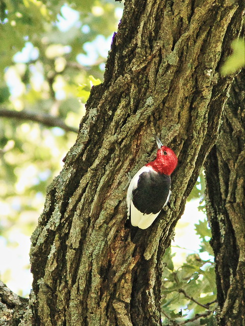 Red-headed Woodpecker 20150824