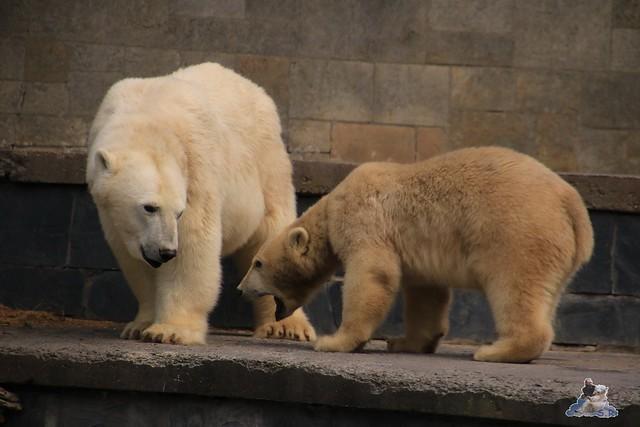Eisbär Fiete im Zoo Rostock 06.09.2015  0320