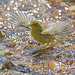 wilson's warbler ballet by Profiles of Nature
