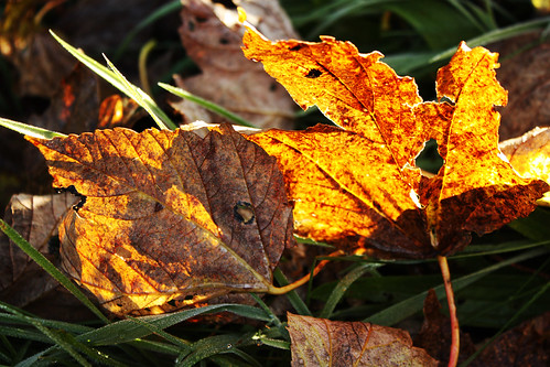 Morning sun through autumn leaves