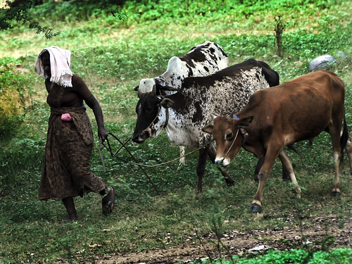 INDIAN RURAL LIFE - A woman herding two cows.