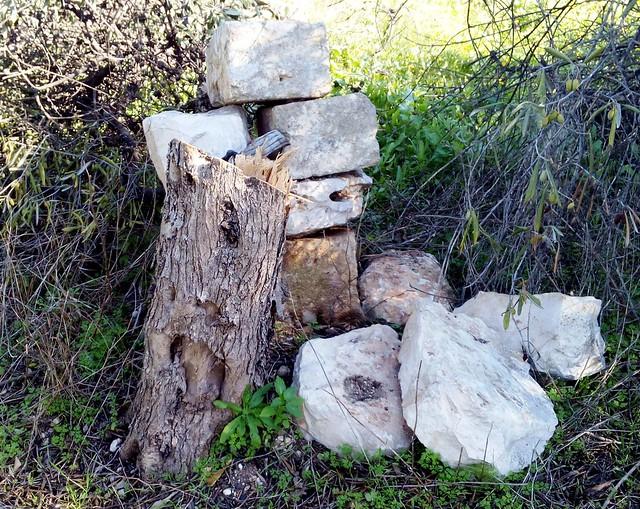 Rutigliano-Segati 19 alberi secolari di Rutigliano-Uno dei tanti alberi uccisi