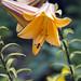 lilie by waldemarjan
