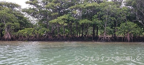 石垣島、宮良川マングローブ