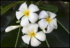 White Frangipani-1=