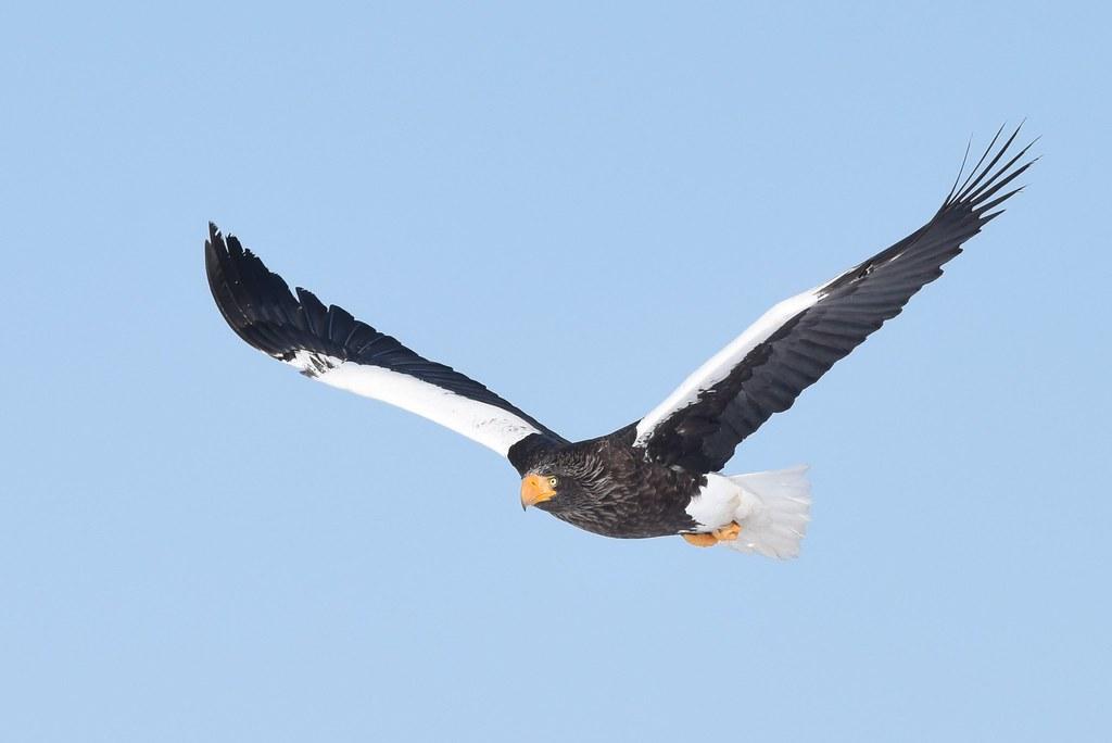A Steller's sea eagle in flight (1)
