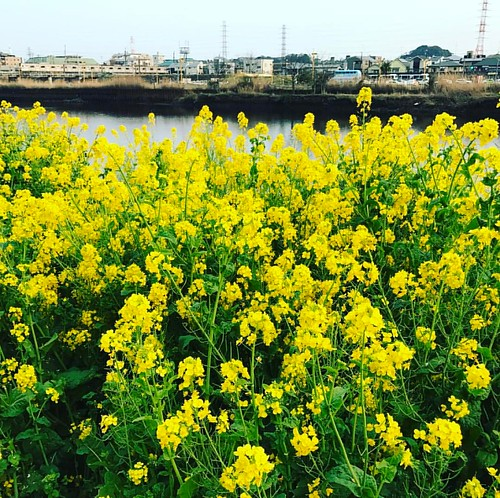 菜の花と東横線