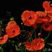 Lotsa Poppies by Jeannot7