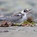Len Medlock has added a photo to the pool:Black Tern (imm.)Eel Pond, Rye, NH