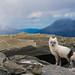 Arctic Fox by Jo Stenersen