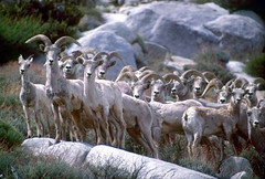 deer(0.0), sheeps(0.0), sheep(0.0), goatherd(0.0), animal(1.0), argali(1.0), mammal(1.0), barbary sheep(1.0), goats(1.0), herd(1.0), domestic goat(1.0), fauna(1.0), wildlife(1.0),