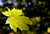 Backlit maple
