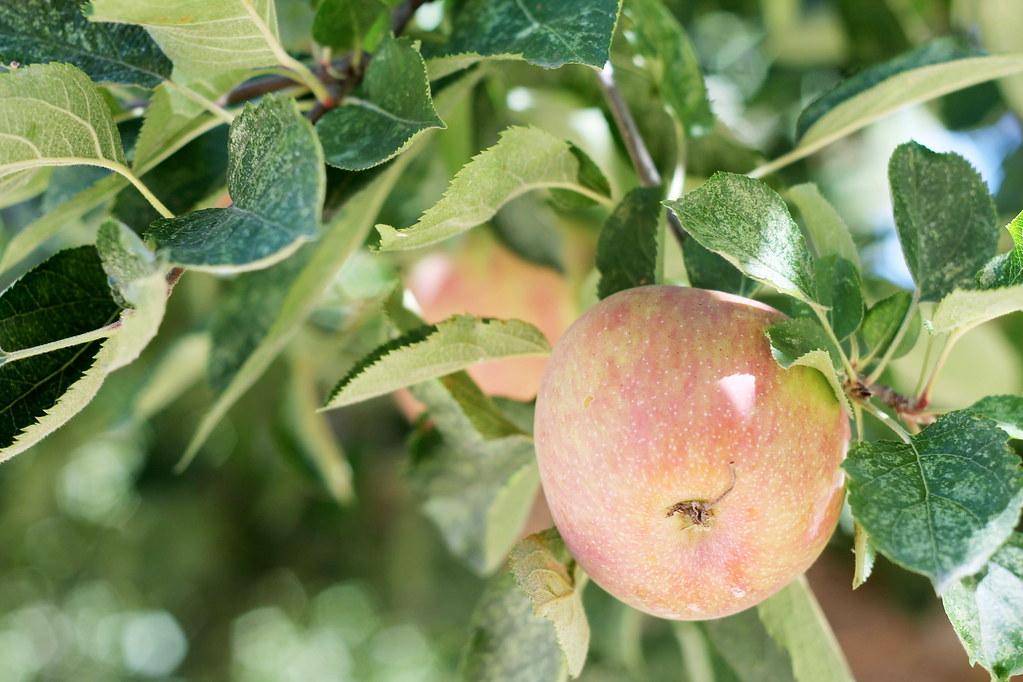 apple picking 2015