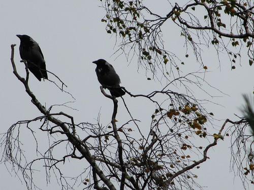kaksi varista