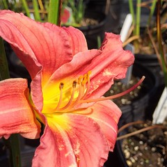 """Rosy Returns"" hemerocallis."