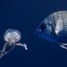 Yummy Jellyfish, Billinghurst Cave, Gozo