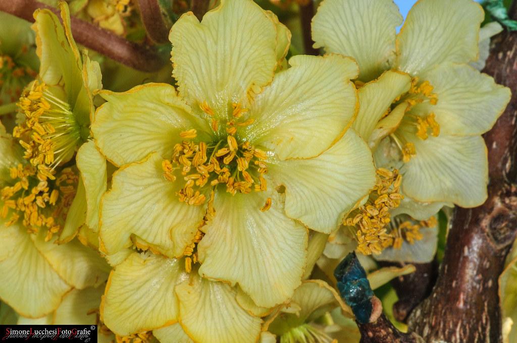 Kiwi Flower Simone Lucchesi Flickr