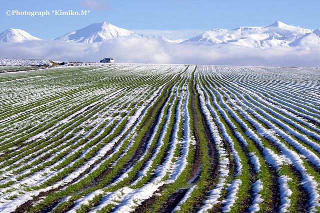 秋まき小麦の畝