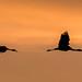 Sandhill Cranes by Paul D'Andrea