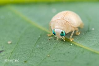 Ladybird (Coccinellidae) - DSC_9078