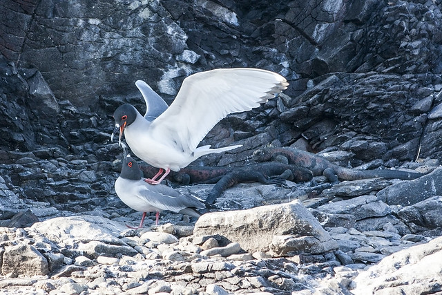 Swallow-tailed gulls and Marine iguanas at Espinola (Hood) Island, Galapagos Islands, Ecuador.