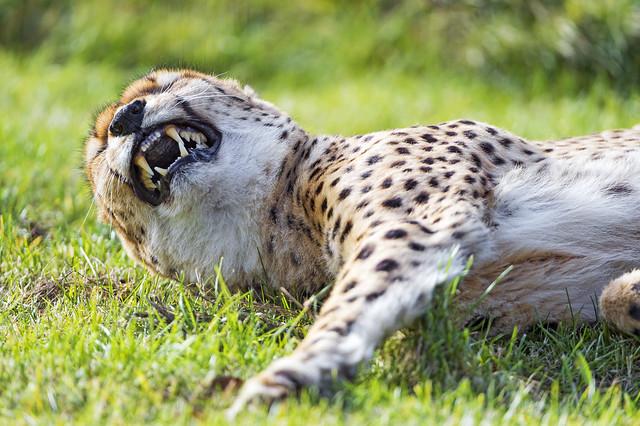 Lying cheetah starting to yawn