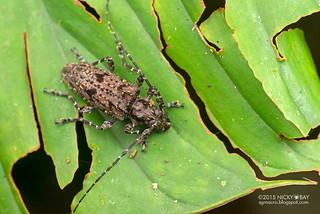Longhorn beetle (Psapharochrus sp.) - DSC_1969