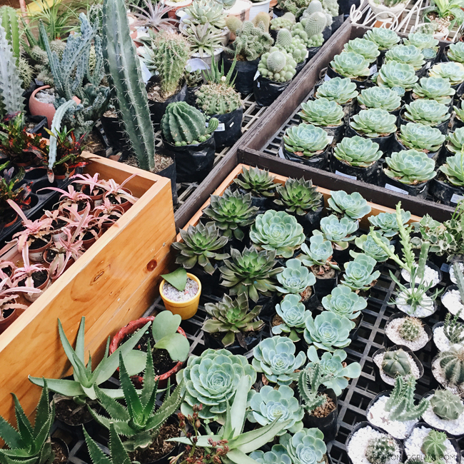 WHERE TO BUY CHEAP CACTUS MANILA