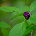 Beautyberry by I'magrandma