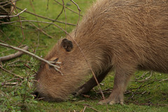 animal, rodent, fauna, pig-like mammal, capybara, whiskers, wildlife,