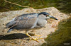Bihoreau Gris / Black-Crowned Night-Heron / nycticorax nycticorax (juvenile) by (Thanks for Over 2 Million Views!)