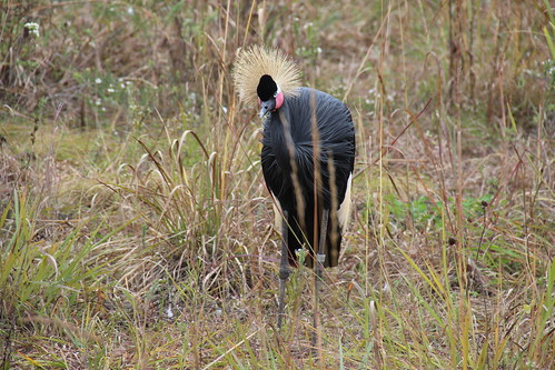 IMG_6305_Black_Crowned_Crane