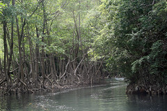29 - Los Haitises national park - Entering the mangroves / Los Haitises Nationalpark - Einfahrt in die Mangroven