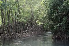 29 - Los Haitises national park - Entering the mangroves / Los Haitises Nationalpark - Einfahrt in die Mangroven