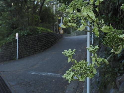 明日葉と坂道