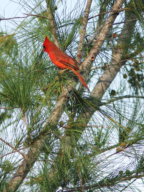 Northern Cardinal in Australian Pine 20151004