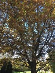 Magnifique le chêne en automne