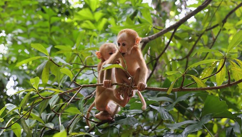 Two little Bear macaques at Erawan National Park