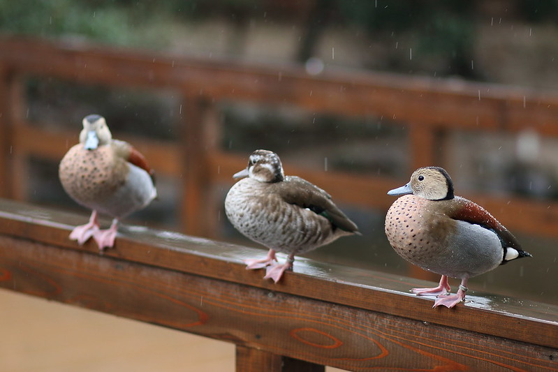 オシドリ / mandarin duck