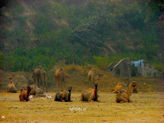 Animal Fair: Camel Fair: Discipline and waiting for their turn