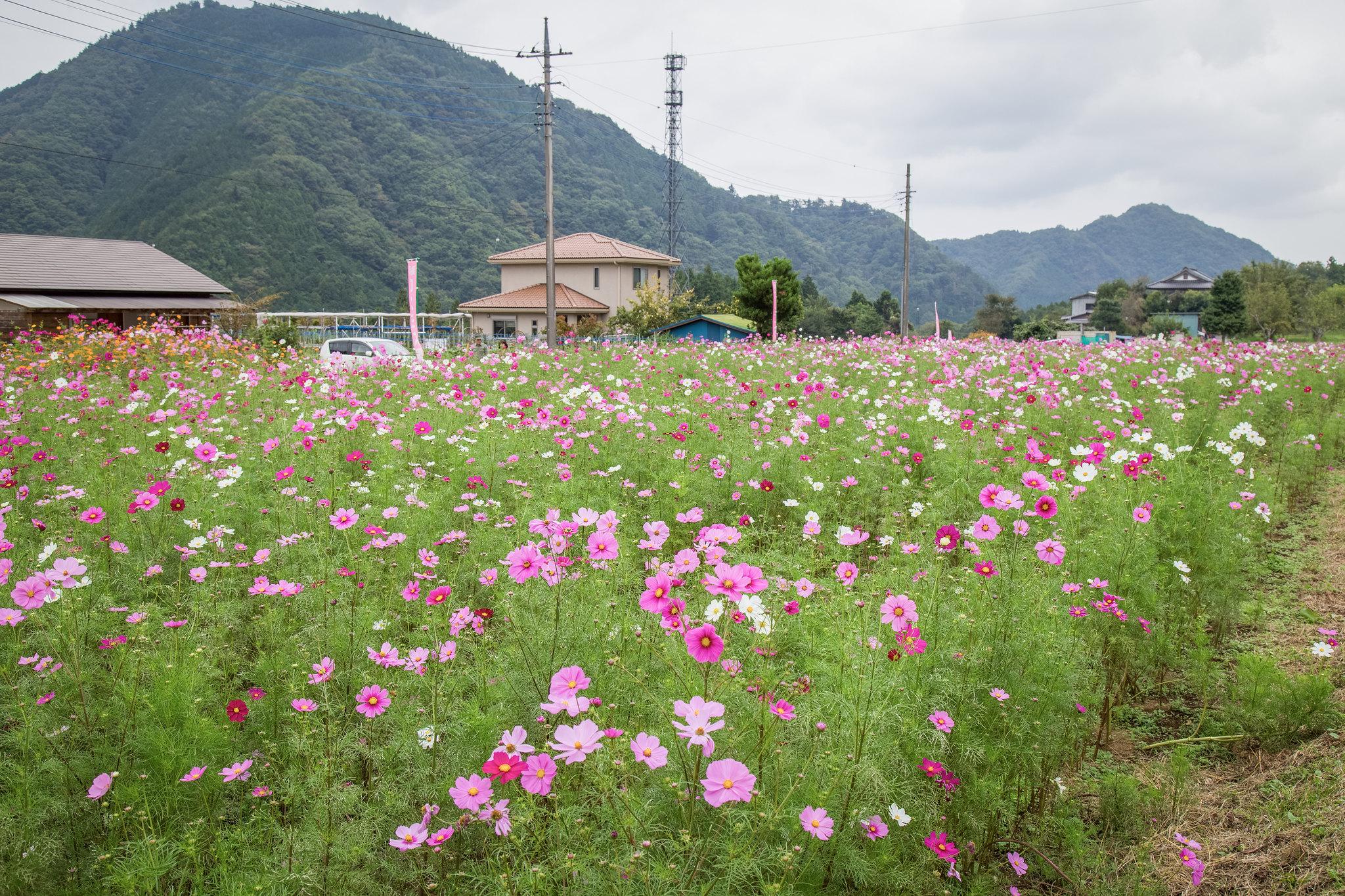 2014-10-12 神之川キャンプ場と青根コスモス園 005